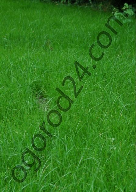 Газонная трава Полевица побегоносная