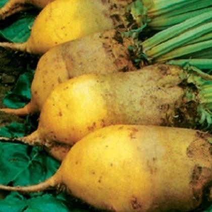 Семена свеклы кормовой Урсус Поли
